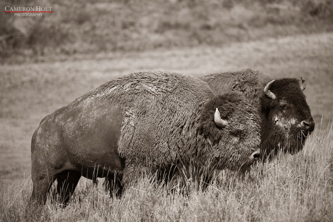 Two Buffalos