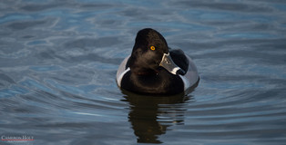 Red Ring Duck