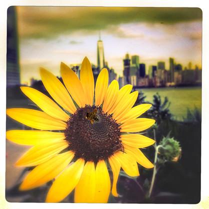 Sunflower & Freedom Tower