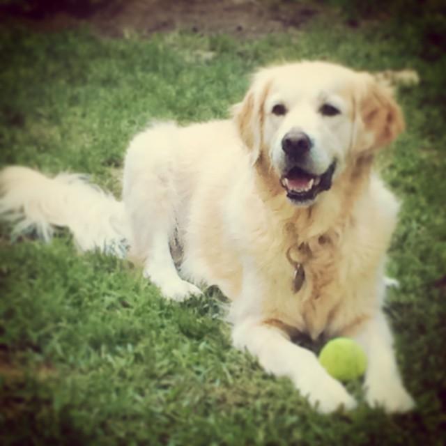 Instagram - Cooling off #designedphotography #SuzieQ #dogslife #goldensofinstagr