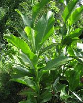 צמח מרנטת הקנה