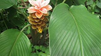 פרח מרנטת הקנה ARROWROOT FLOWER
