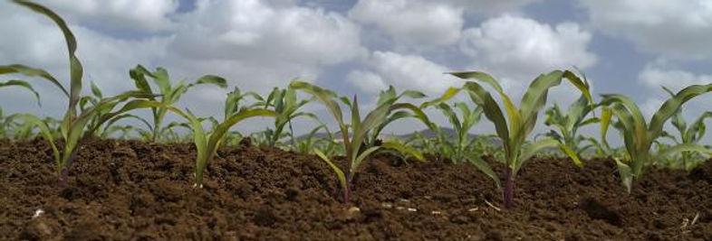 שדה תירס לא מהונדס גנטית