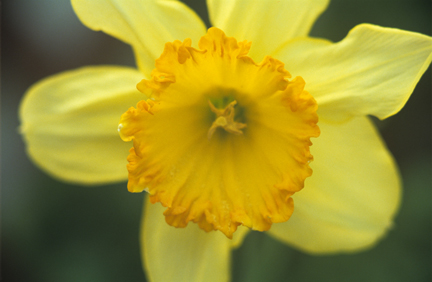 Daffodil o