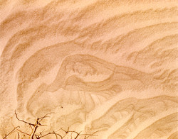 Sand Vulture