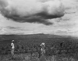 AGAVE FIELD - 1955