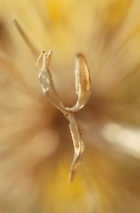 Silver Leaf y
