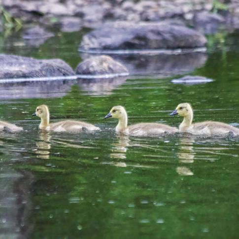 Goslings - Canadian Geese