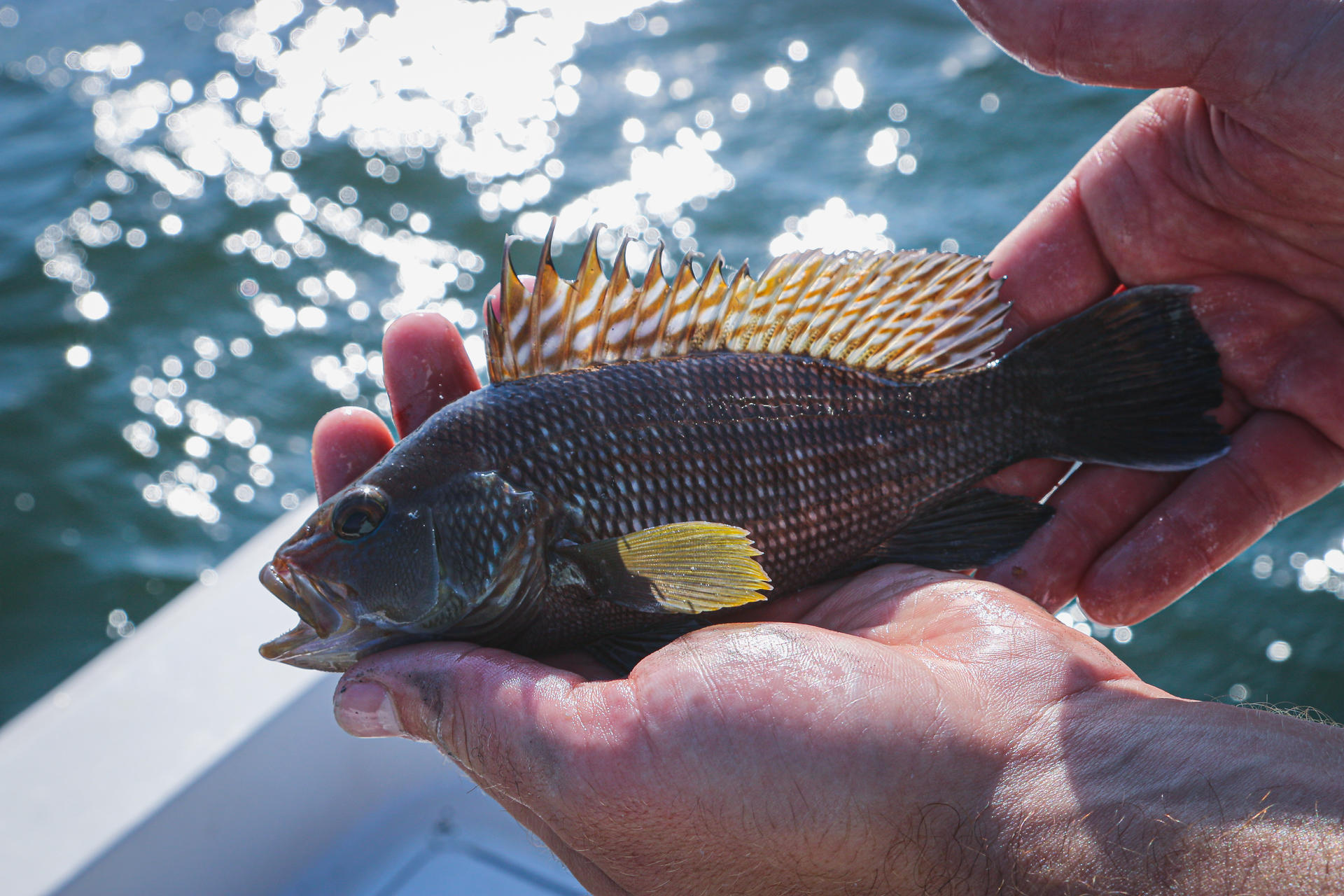 Juvenile Black Sea Bass