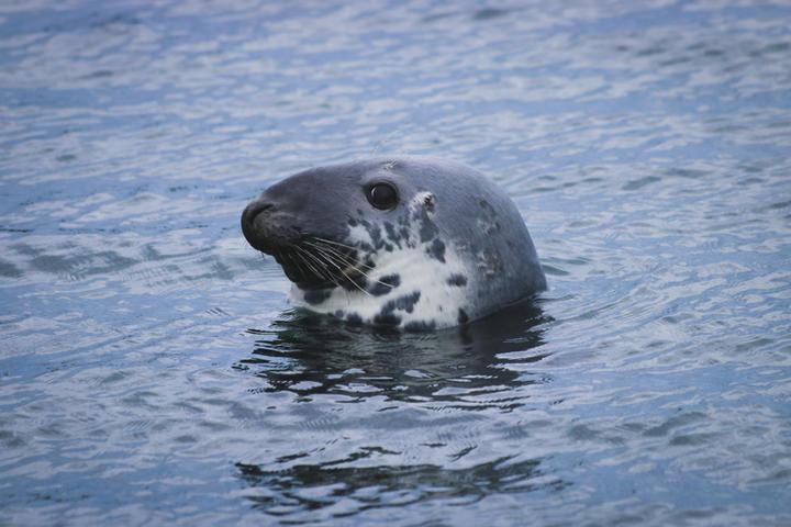 Curious Gray Seal