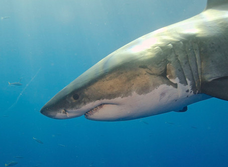Cape Fear - Breaking Down The Return Of Great Whites To Massachusetts