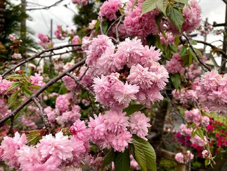 八重桜・石楠花