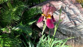 花菖蒲が咲きました