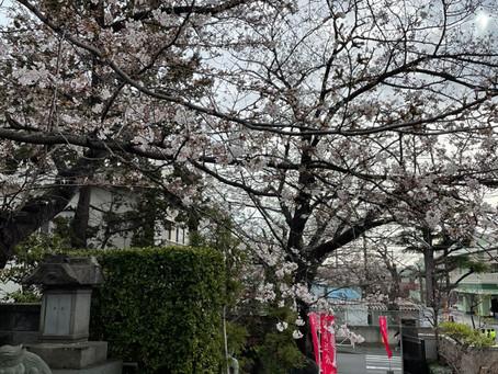 桜の花が見ごろを迎えます