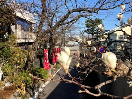 白木蓮が咲き始めました