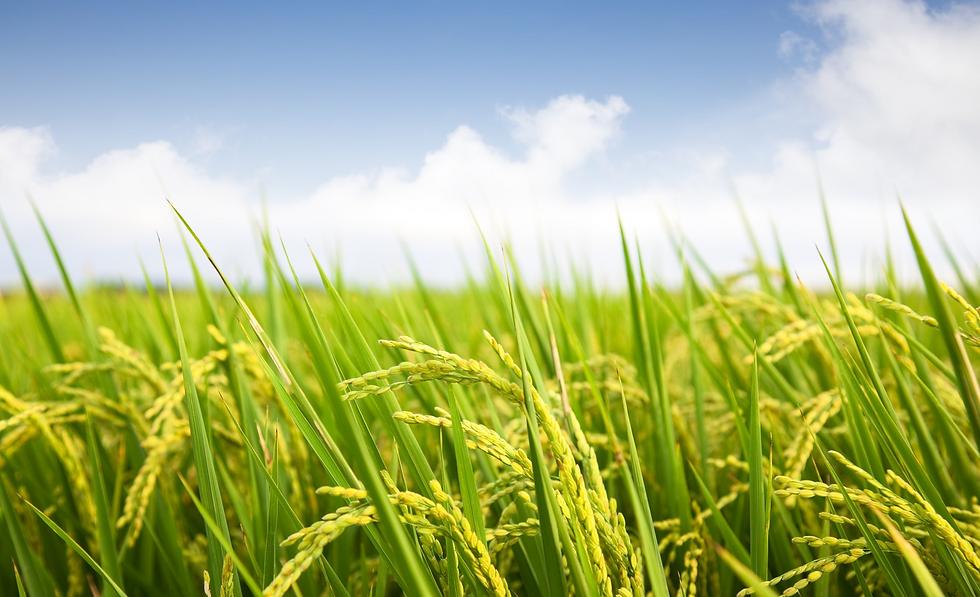 rice farm.png