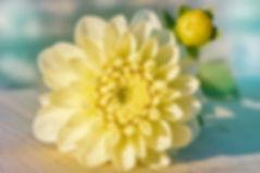dahlia-4454343_960_720.jpg