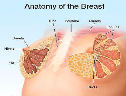 anatomy_breast.jpg