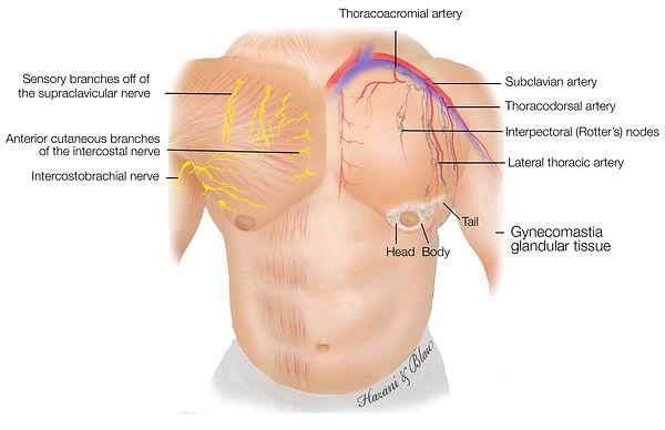 anatomy-of-male-breast.jpg