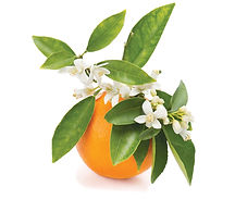 Orange Blossom.jpg