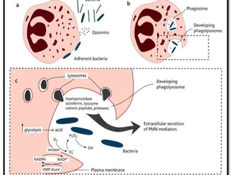 Patogênese da Doença Periodontal: o processo inflamatório