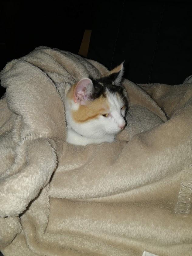 besoin de chaleur et de douceur pour les chats qui se mettent en boule dans les couvertures