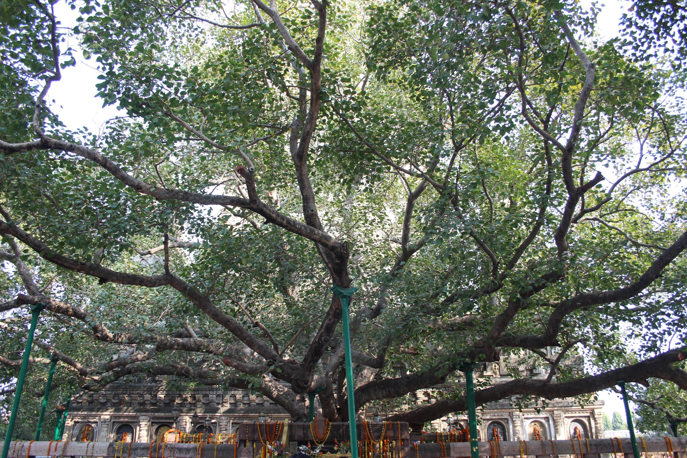 The Bodhi Tree
