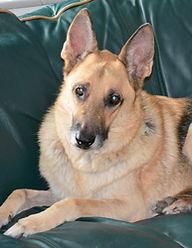 Fritz the German Shepherd