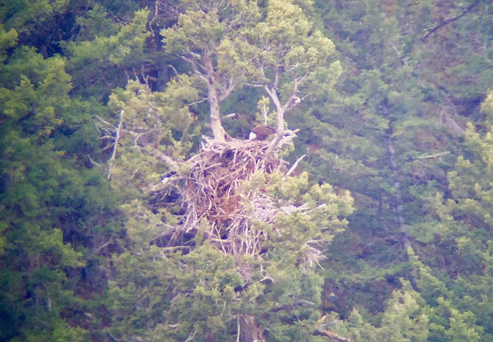 Bald Eagle Lamar Yellowstone