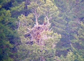 Bald Eagle Nest with Chicks in Lamar Valley
