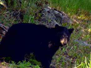 Black Bear Around Tower Junction - Yellowstone
