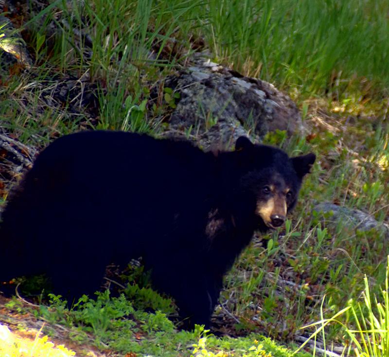 Black Bear - Tower Junction Yellowstone
