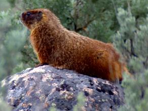 Marmots Invade the Lamar Canyon