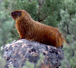 Yellowstone Marmot