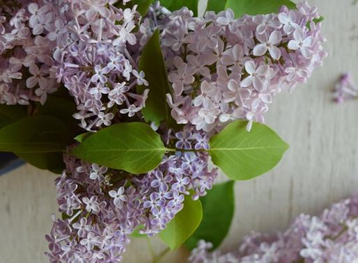 #projetlilas: l'art de cuisiner le lilas