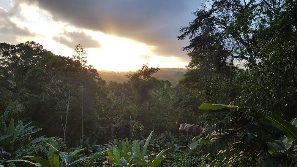 Cocoa agroforest Cabruca Brazil