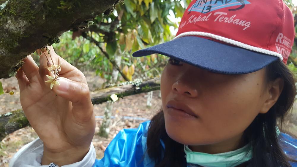 Hand pollination cocoa