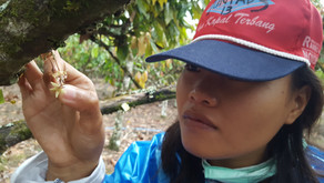 October 2020   Hand pollination, or agrochemical intensification for improving cocoa yields?