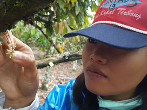 October 2020 | Hand pollination, or agrochemical intensification for improving cocoa yields?