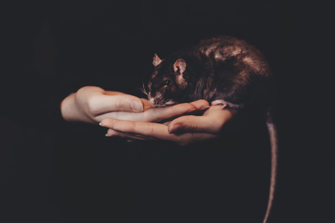 Humans have always been connected to rat