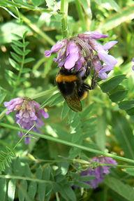 Buff-tailed Bumblebee on Vetch.JPG
