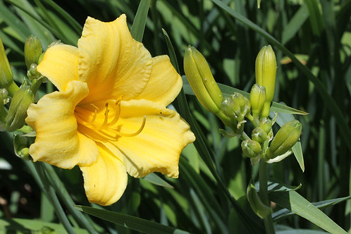 "Daylily  'Stella de Oro' -  13"" pot"