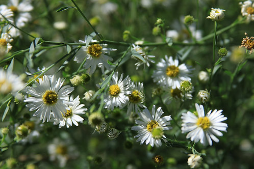 """Bolton's Aster """"Snowbank"""" - set of 3"""