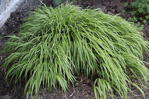Hakone Grass -  not 'Aureola'