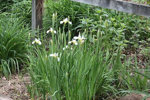 White Siberian Iris - set of three