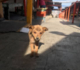 stray puppy in Mexico, volunteer with dogs