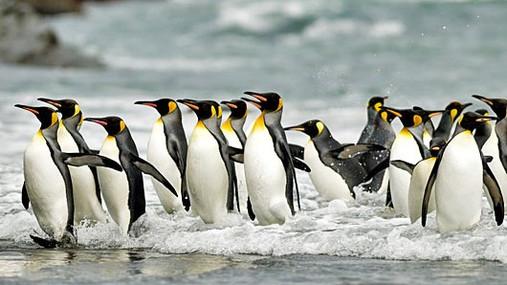 King-Penguins le soleal.jpg