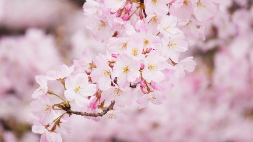 Cherry Blossoms in Cowra Japanese garden.JPG