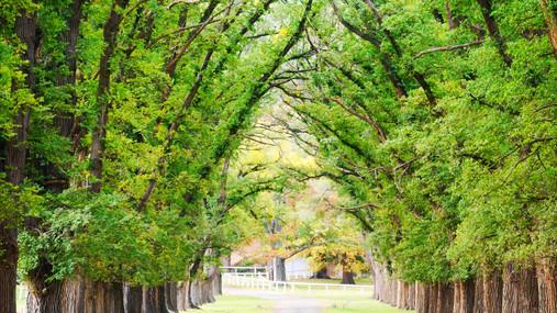 trees in Armidale.JPG