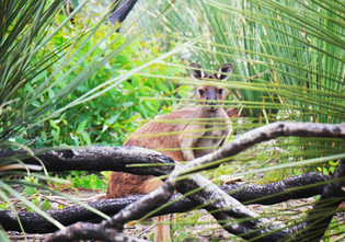 Kangaroo Island Kangaroo with Yacca